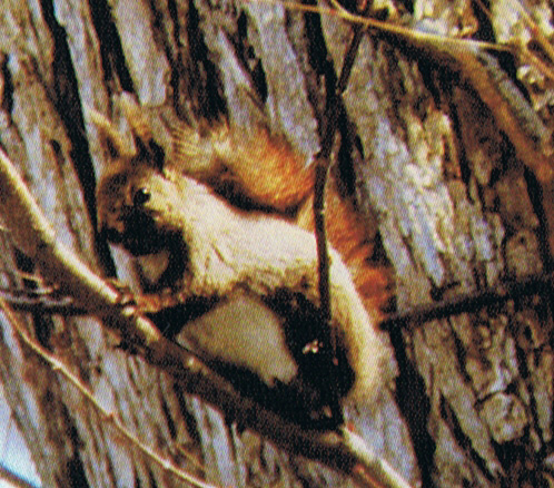 Ezo red squirrel
