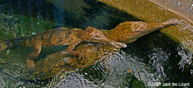 Freshwater Crocodile, Atagawa Tropical & Alligator Garden