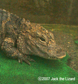 Dwarf Crocodile, Atagawa Tropical & Alligator Garden