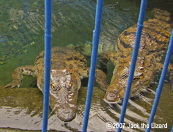 Nile Crocodile, Atagawa Tropical & Alligator Garden