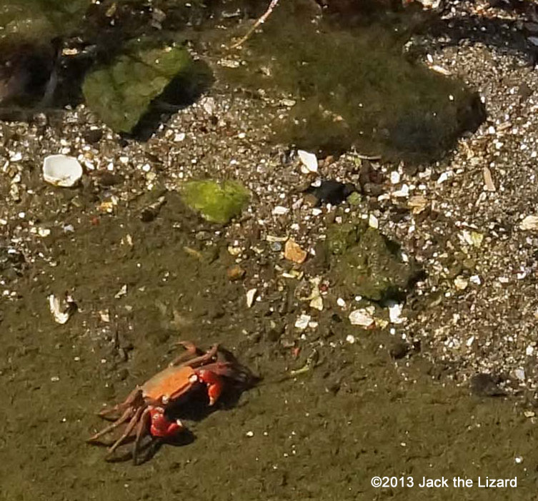 Red-clawed crabs live in East Asia. Although they adapt to life on the land, they are also found at a mudflat and coast.