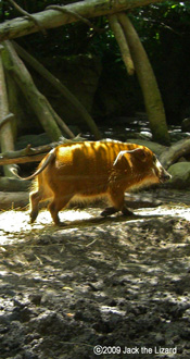 Red River Hog, Bronx Zoo