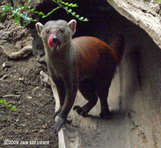 Ring-tailed Mongoose, Bronx Zoo