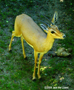 Slender-horned Gazelle, Bronx Zoo