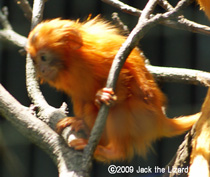 Golden lion tamarin, Bronx Zoo