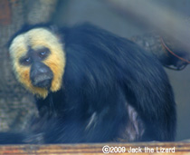 White-faced Saki Monkey, Bronx Zoo