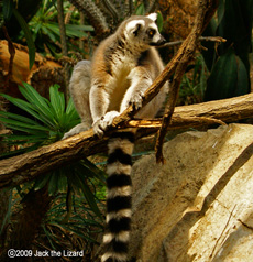 Ring-tailed lemur, Bronx Zoo
