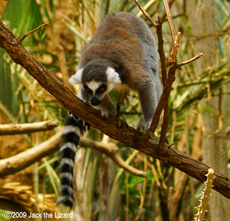 Raing-tailed lemur, Bronx Zoo