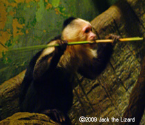 White-throated Capuchin, Bronx Zoo