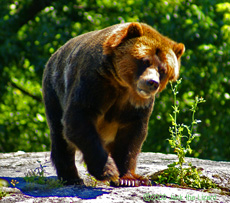 Grizzly bear, Bronx Zoo