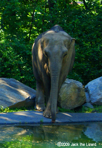 Asian Elephant, Bronx Zoo