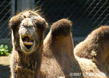 Bactrian Camel, Chiba Zoological Park
