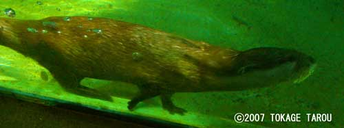Otter, Chiba Zoological Park