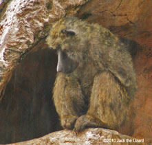 The Olive Baboon