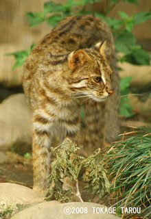 Amur Cat, Inokashira Zoo
