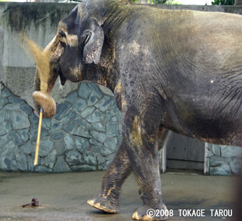 Hanako the Asian Elephant, Inokashira Zoo