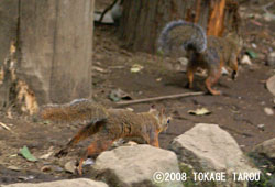 Japanese Squirrel, Inokashira Zoo