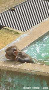 Rhesus Monkey, Kyoto Municipal Zoo