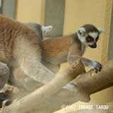 Ring-tailed Lemur, Kyoto Municipal Zoo
