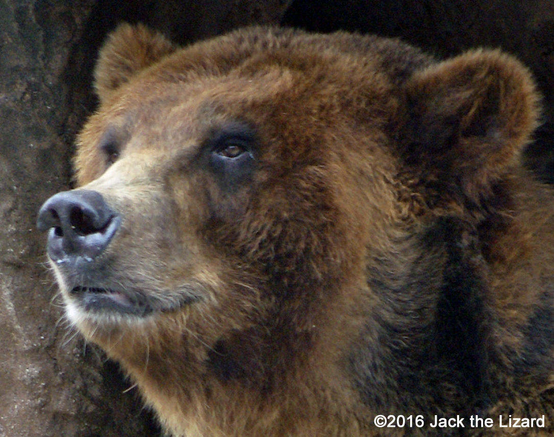 Ezo Brown Bear