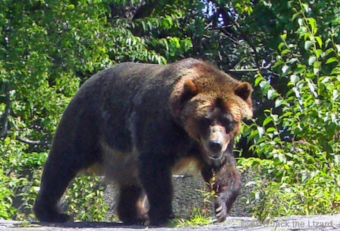 The life span of Brown Bear is about 30 years.