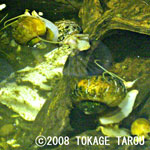 Apple Snails
