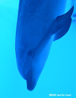 Bottlenose Dolphins, Port of Nagoya Public Aquarium