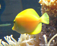 Yellow tang, Port of Nagoya Public Aquarium