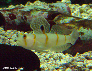 Randall's prawn-goby, Port of Nagoya Publick Aquarium