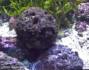 Reef stonefish, Port of Nagoya Public Aquarium