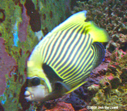 Emperor angelfish, Port of Nagoya Public Aquarium