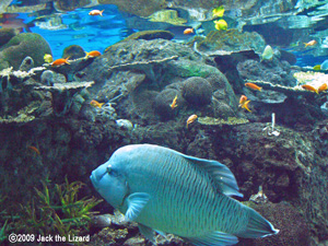 Humphead wrasse, Port of Nagoya Public Aquarium
