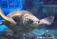 Sea Turtle, Port of Nagoya Public Aquarium