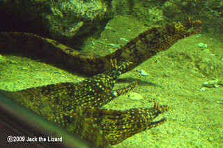 Leopard moray eel, Port of Nagoya Public Aquarium