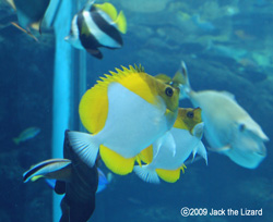 Oriental butterflyfish, Port of Nagoya Public Aquarium
