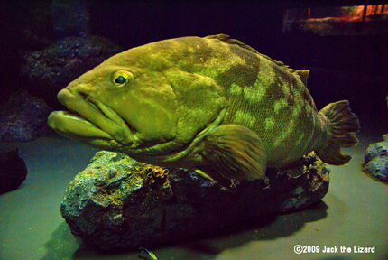Longtooth grouper, Port of Nagoya Public Aquarium