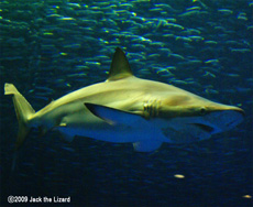 The copper shark, Port of Nagoya Public Aquarium