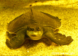 The Pig-nosed Turtle, Port of Nagoya Public Aquarium