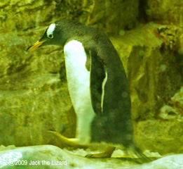The Gentoo Penguin, Port of Nagoya Public Aquarium