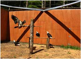 Bald Eagles, Prince Rupert Wildlife Rehab Shelter