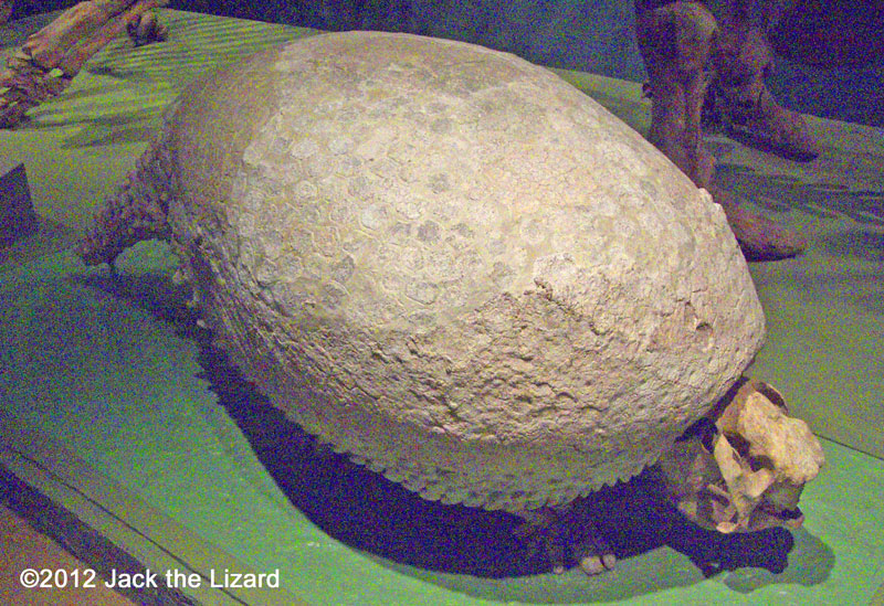 Glyptodont, National Museum of Natural History