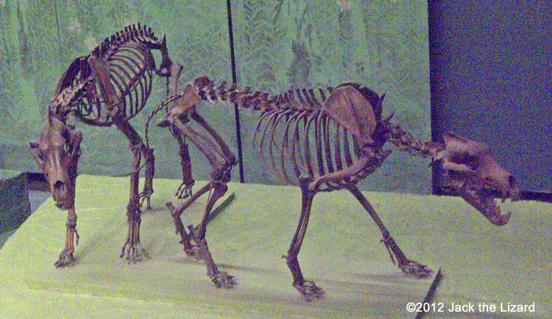 Dire Wolves, National Museum of Natural History