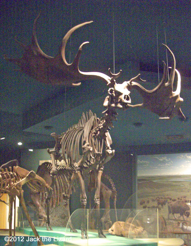 Irish Elk, National Museum of Natural History