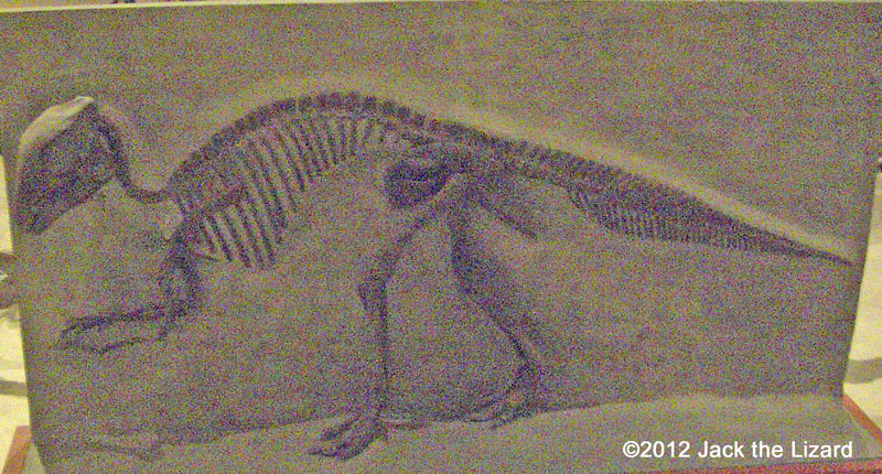 Maiasaura, National Museum of Natural history