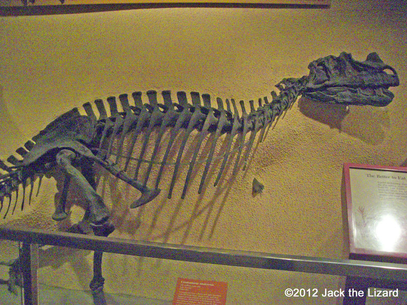 Ceratosaurus, National Museum of Natural History