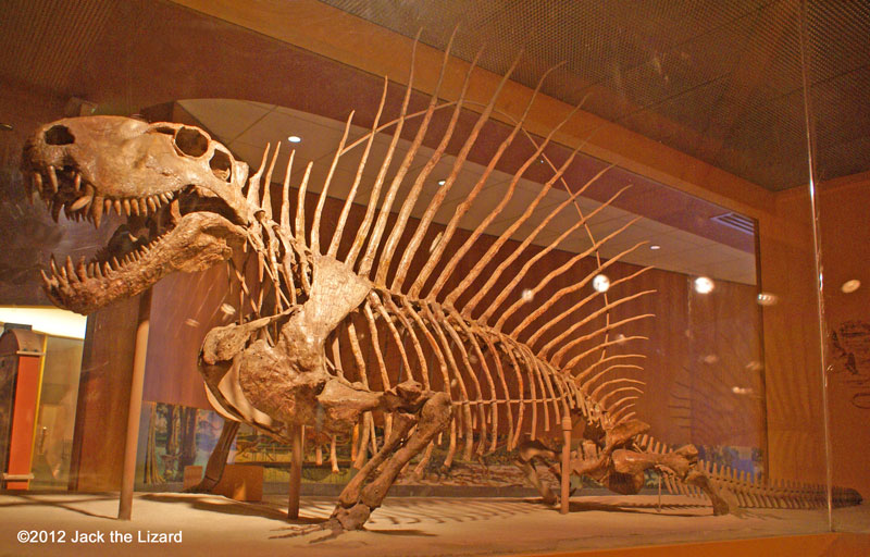 Dimetrodon, National Museum of Natural history