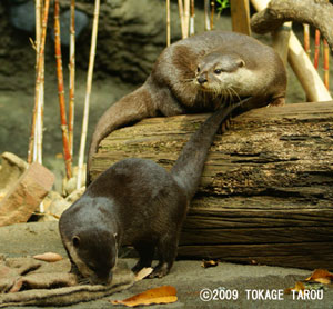 Oriental Small-clawed Otter, Tama Zoo