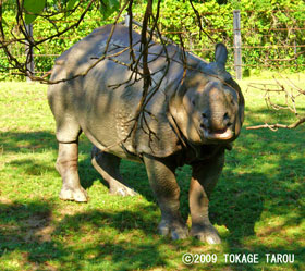 Great Indian Rhinoceros, Toronto Zoo