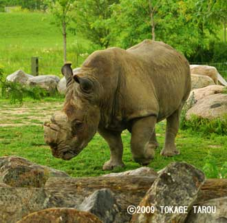 White Rhinoceros, Toronto Zoo