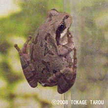 Japanese Tree Frog, Ueno Zoo